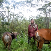 Farmer in Flores with Calf and Cow