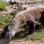 Handsome Ugly Komodo Dragon