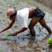 Planting Rice in Wet Padi