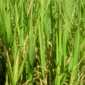 Rice Almost Ready to Harvest