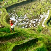 Rice Fields Between Harvest and Planting