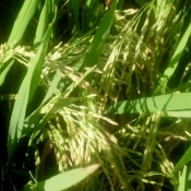 Rice Grains Awaiting Harvest