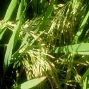 Rice Grains Awaiting Harvest