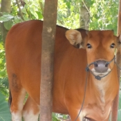 Sweet Sapi Cow